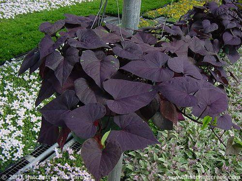 Ace Of Spades Ornamental Sweet Potato Vine Plants Indoor Garden Sweet Potato Vine