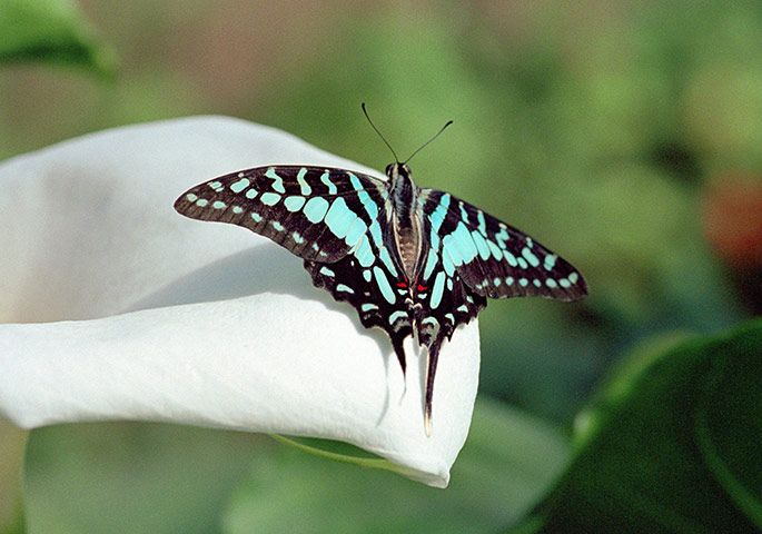 A tropical blue swallowtail butterfly (Graphium antheus). The 150 community butterfly farmers are made up of local families that live adjacent to the eastern border of the Arabuko-Sokoke forest. Women comprise over 80% of Kipepeo farmers, meaning that much of the income from butterfly farming is directly spent within the family household