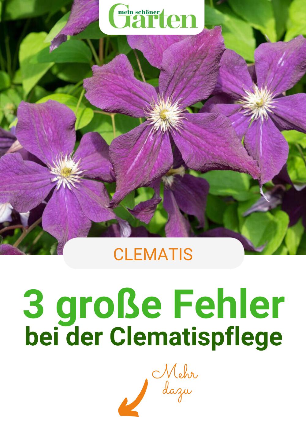 Die 3 Grossten Fehler Bei Der Clematispflege Garten Pflanzen Garten Stockrosen Pflanzen