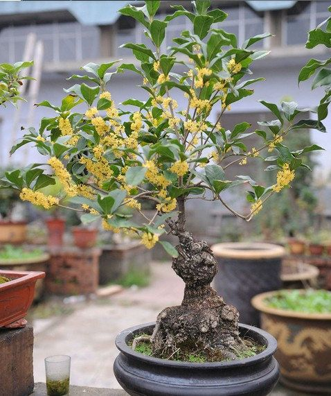 Growth Environment  Osmanthus adapted to subtropical climates. I like the warm, moist. Growing areas average temperature 14-28 ℃, the average July