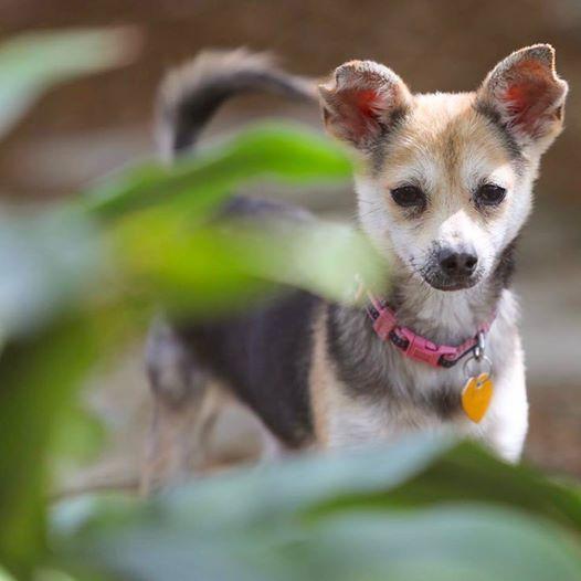 Chiranian dog for Adoption in Cedar Creek, TX. ADN-478004 on PuppyFinder.com Gender: Female. Age: Young