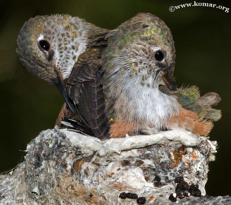 Baby Hummingbirds photo by Kyle Komarnitsky Baby