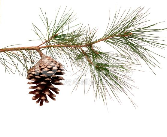 Pine tree branch with a hanging pinecone royalty-free stock photo