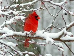 "Red Cardinal in Snow: What I thought of when I wrote ""a blink of blood red against the grey trees, shadowed snow"" in my short story ""Your Snowflakes, This Jar,"" part of Night Swimming through Glass (a collection of stories)."