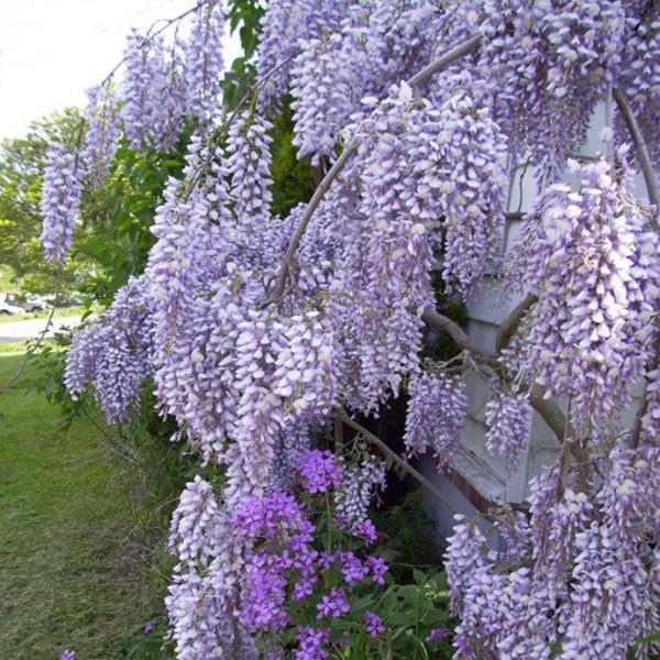 Photo of Wisteria Blue – Accept