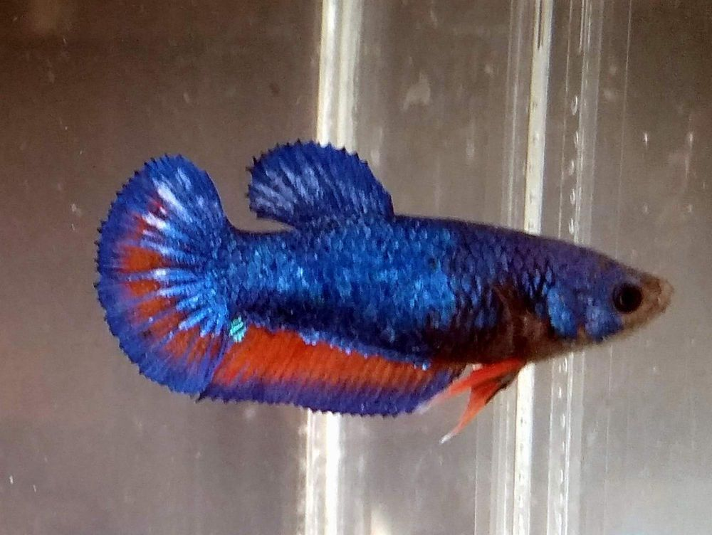 Multi Colors Female Betta Fish 5 Months Old Betta Fish Bettafish Betta Fish Beautiful Fish Fish