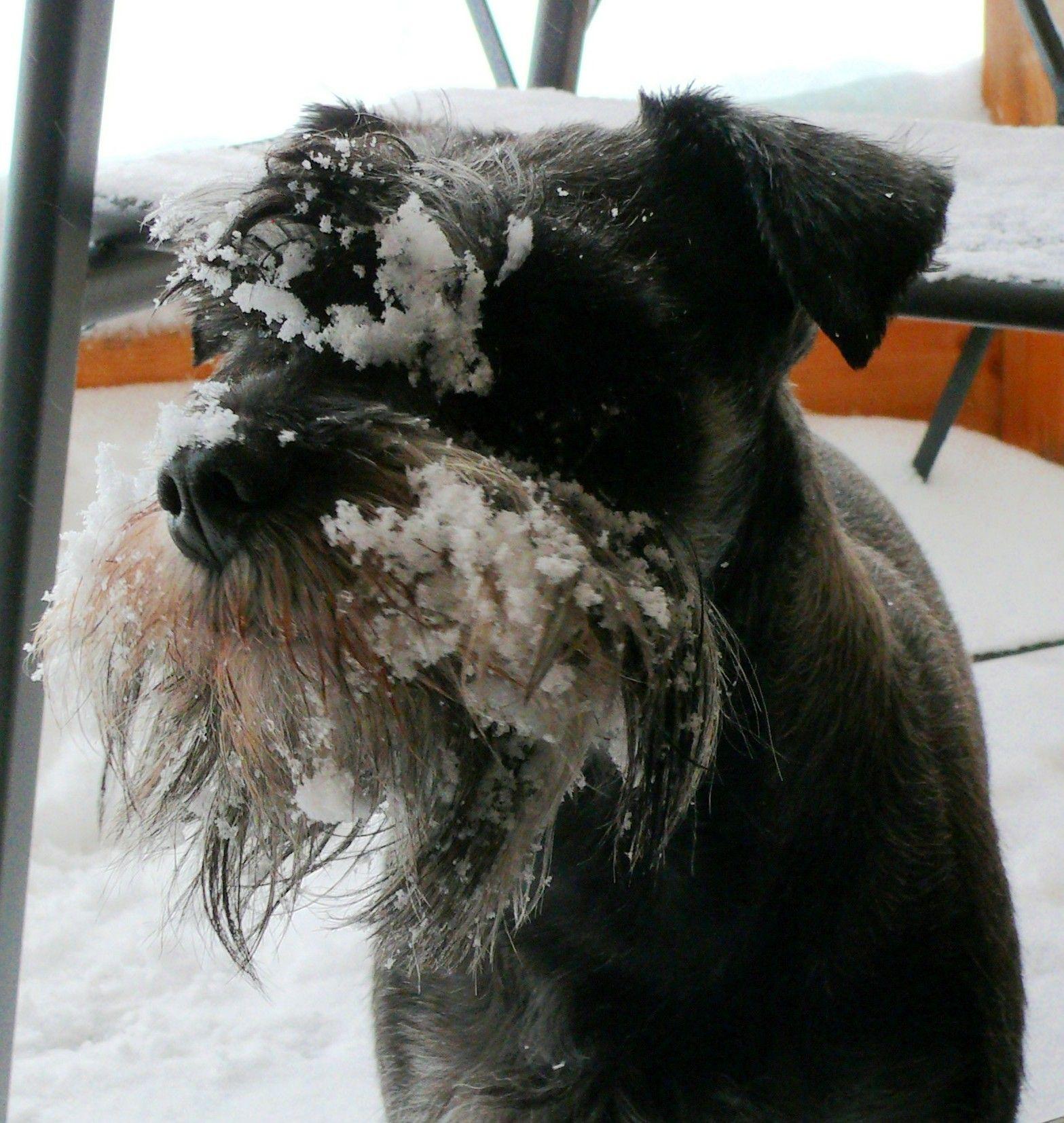 winter is back - schnauzer Amper