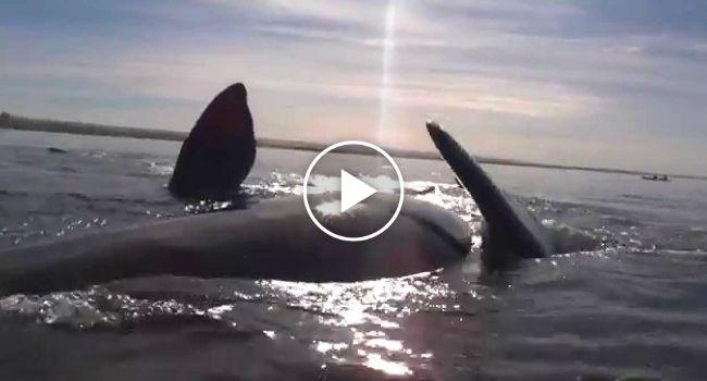 Encontro Inesperado Com Baleias Termina Com Canoistas Suspensos No Dorso De Um Dos Animais