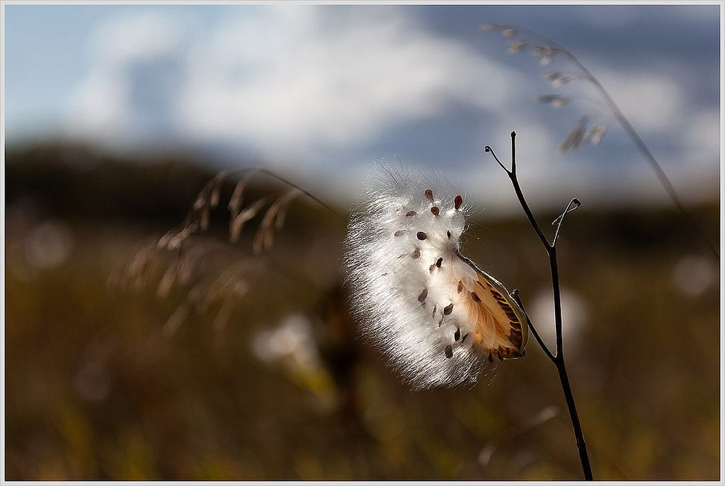 Milkweed © Greg Ness