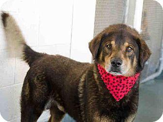 Thor Miami Fl Chow Chow Mix Meet Thor A Dog For Adoption