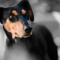 #dogalize Razze cani: cane Pinscher carattere e prezzo #dogs #cats #pets