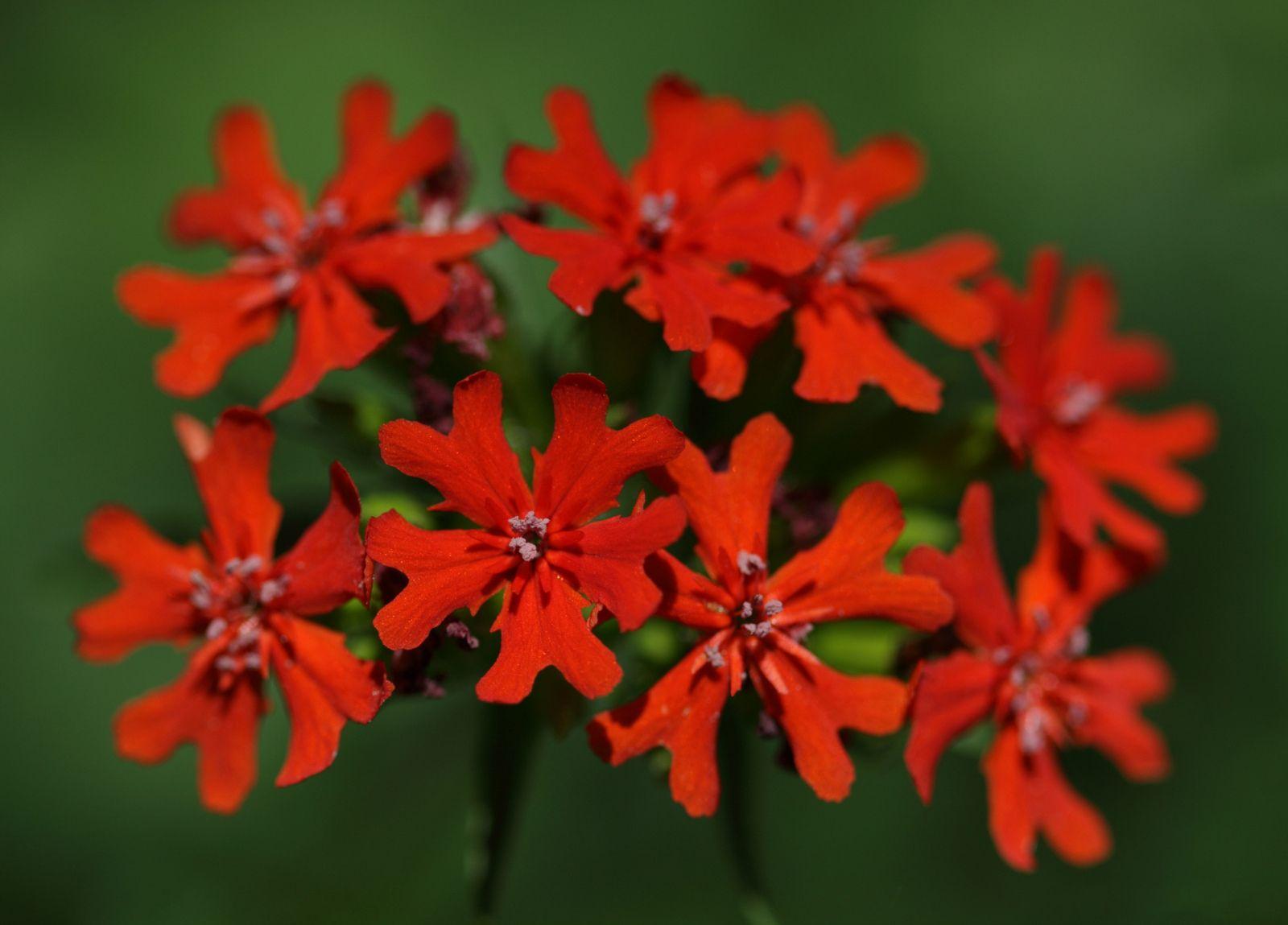 Flowers maltese cross imagens)