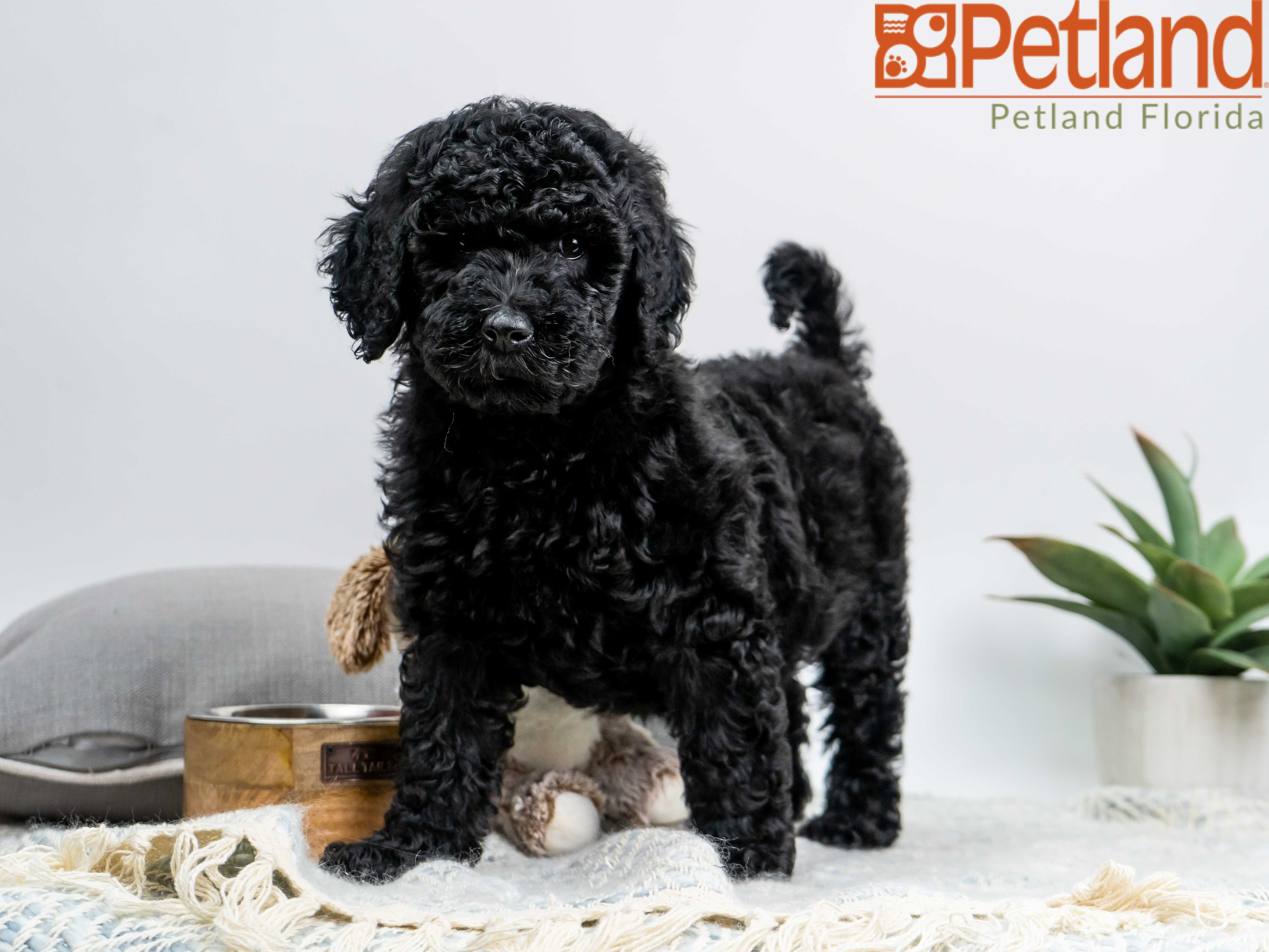 Petland Florida has Goldendoodle puppies for sale! Check