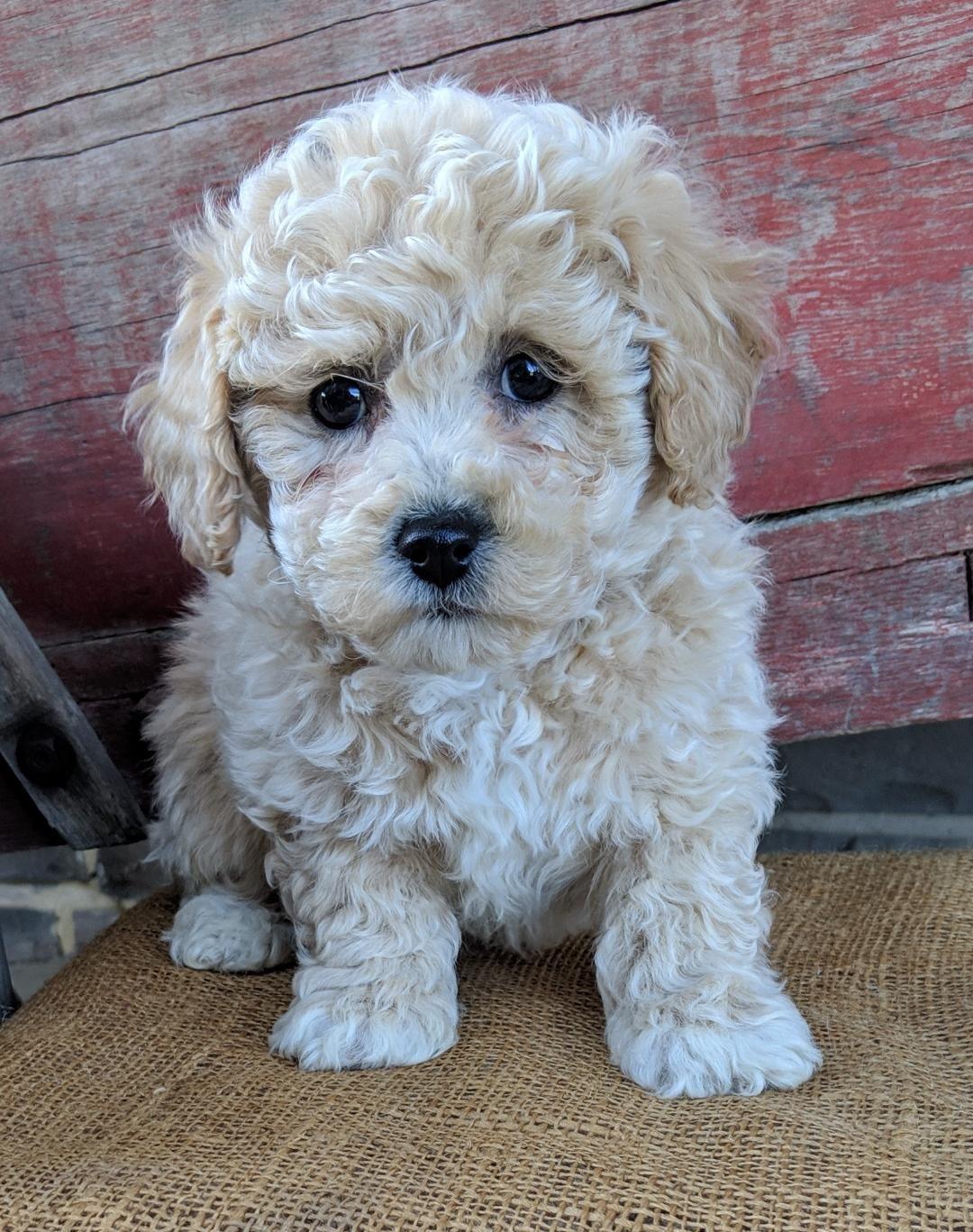 Faithful Bichpoo Dog Friends Cute Animals Puppies