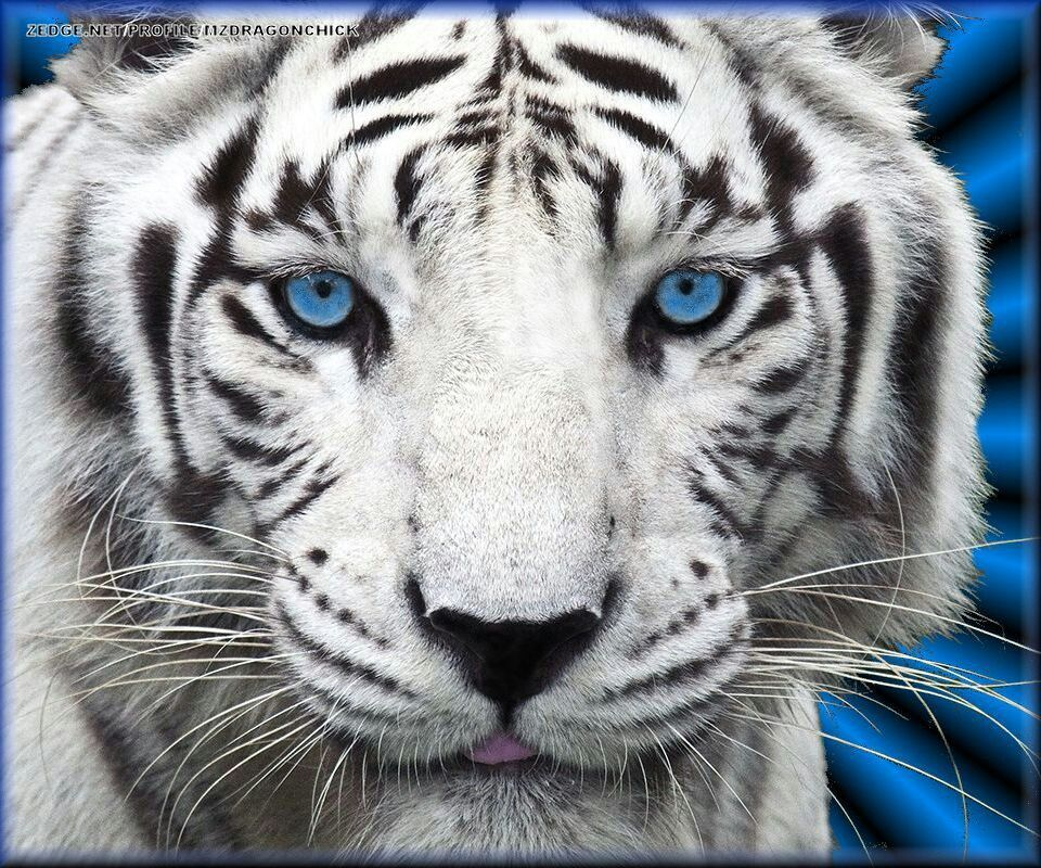 Tiger Wallpaper Blue Eyes