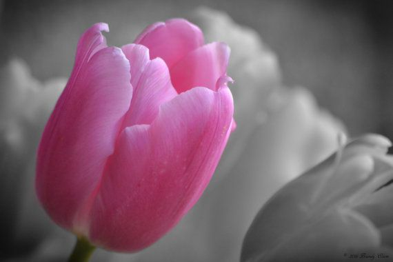 Flower photography tulip photos pink wall art wall decor black and white with color accents pink tulip black and white background
