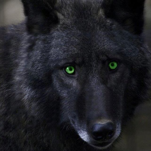 Wolf Love... Beautiful Green Eyes | Wolf eyes, Wolf love ...