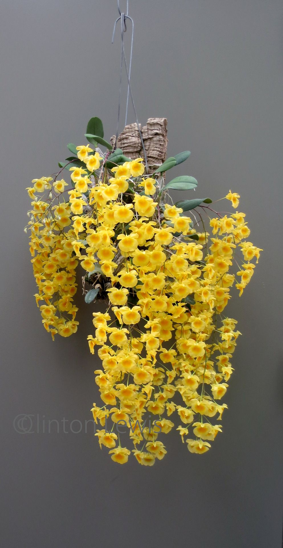 Orchid Dynasty Orchids Beautiful Flowers Plants
