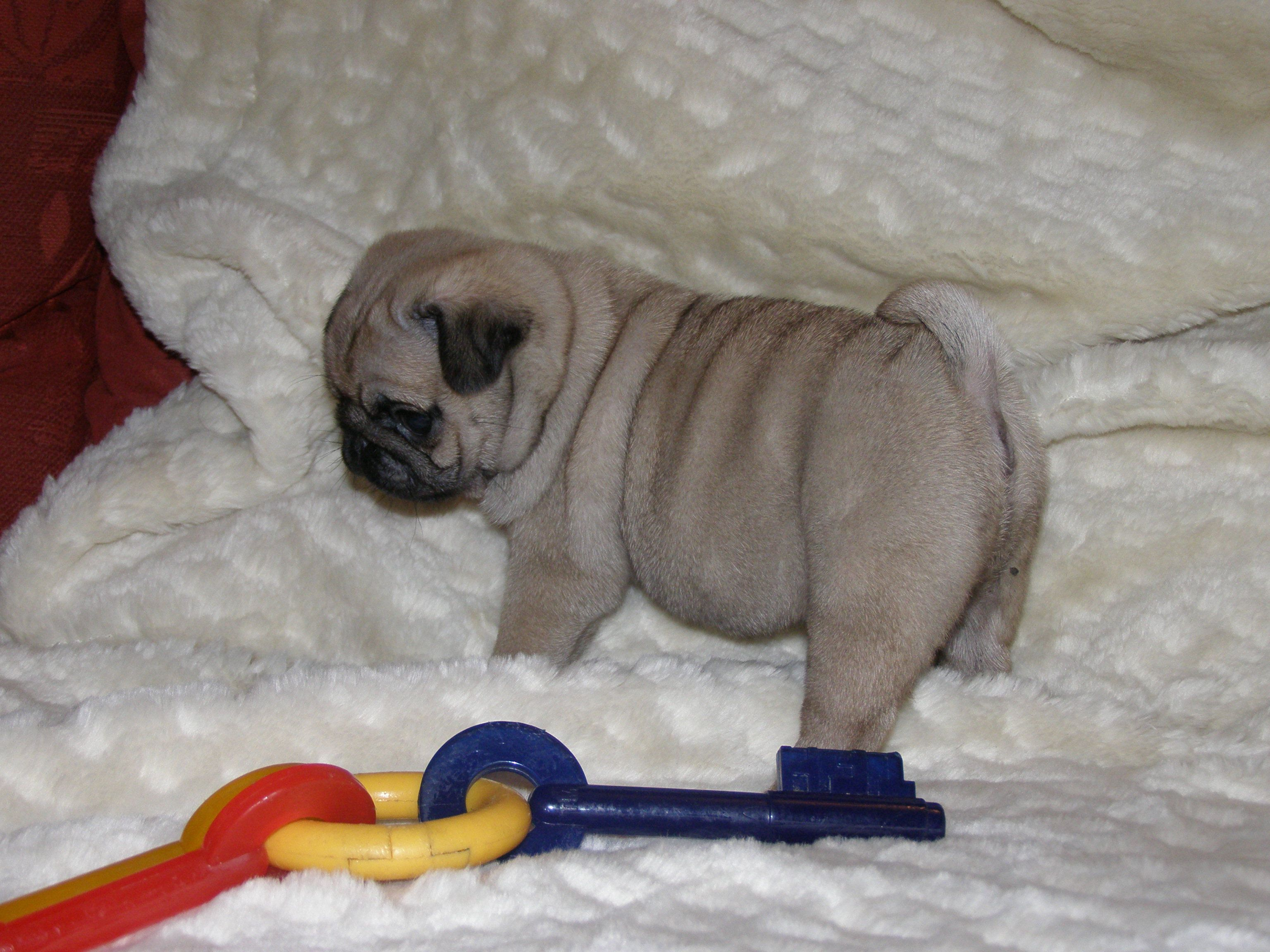 Pug Puppies Pug Puppies Pug Puppies For Sale Puppies For Sale