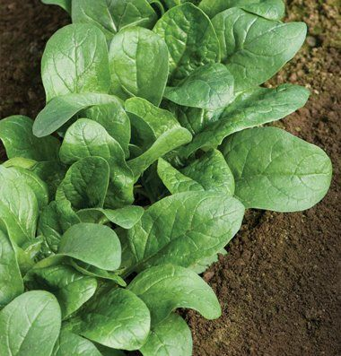 Buy Spinach Seeds Amazing Gardens Seeds Gardening For Beginners
