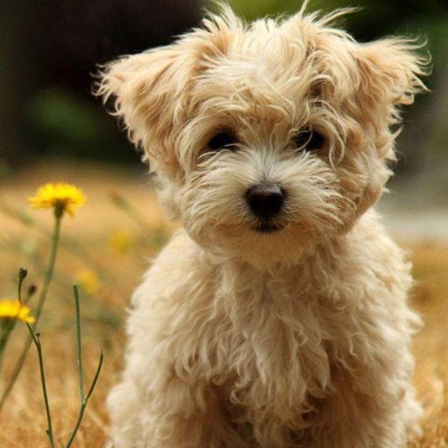 meadow puppy Pups N Fluff (kittens) Fluffy puppies