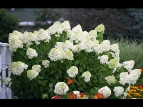 How To Prune Limelight Hydrangea Limelight Hydrangea Landscaping Shrubs Little Lime Hydrangea