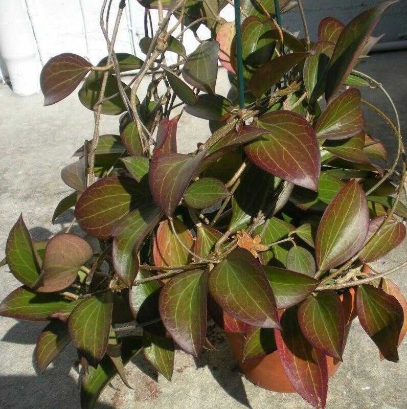 Hoya Nicholsoniae Or Pottsii Leaves Turn Red In Sun Light Yellow