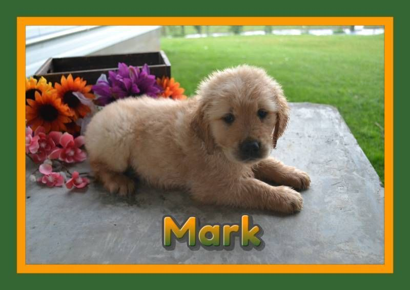 Mark Male Akc Golden Retriever 500 With Images Golden