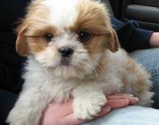 Cava Tzu Cavalier King Charles Spaniel Shih Tzu Mix Temperament Best Dog Breeds Dog Breeds Dogs