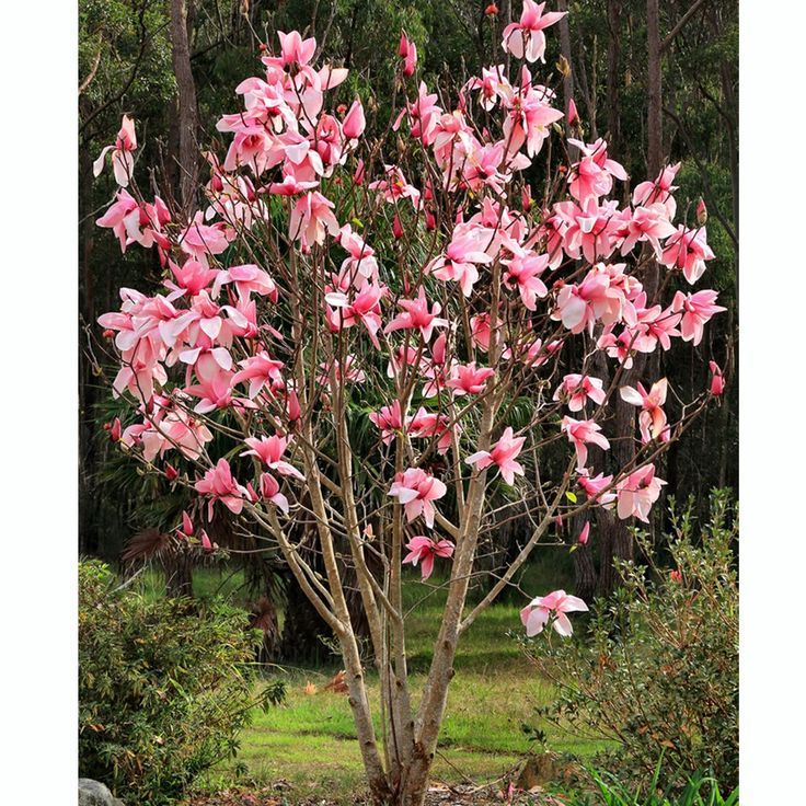 Small Magnolia Tree Types Garden Decor Endearing Decoration Design Ideas With Pink