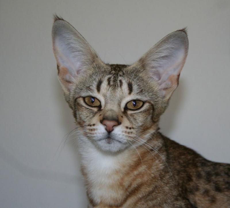 Lequoia Savannah Savannah kittens for sale, Cats and