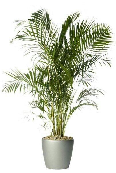 Palmeira Areca ou Bambu Areca  Nome científico: Dypsis lutescens Pode ser exposta à luz direta do sol. Regar frequentemente.