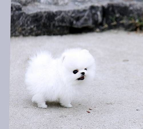 Image 1 Pomeranian Puppy For Sale Pomeranian Puppy Pomeranian Puppy Teacup