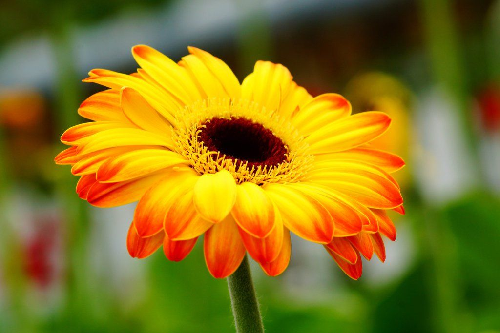 Yellow Gerbera Daisy 1 By A6 K Gerbera Daisy Gerbera Types Of Flowers