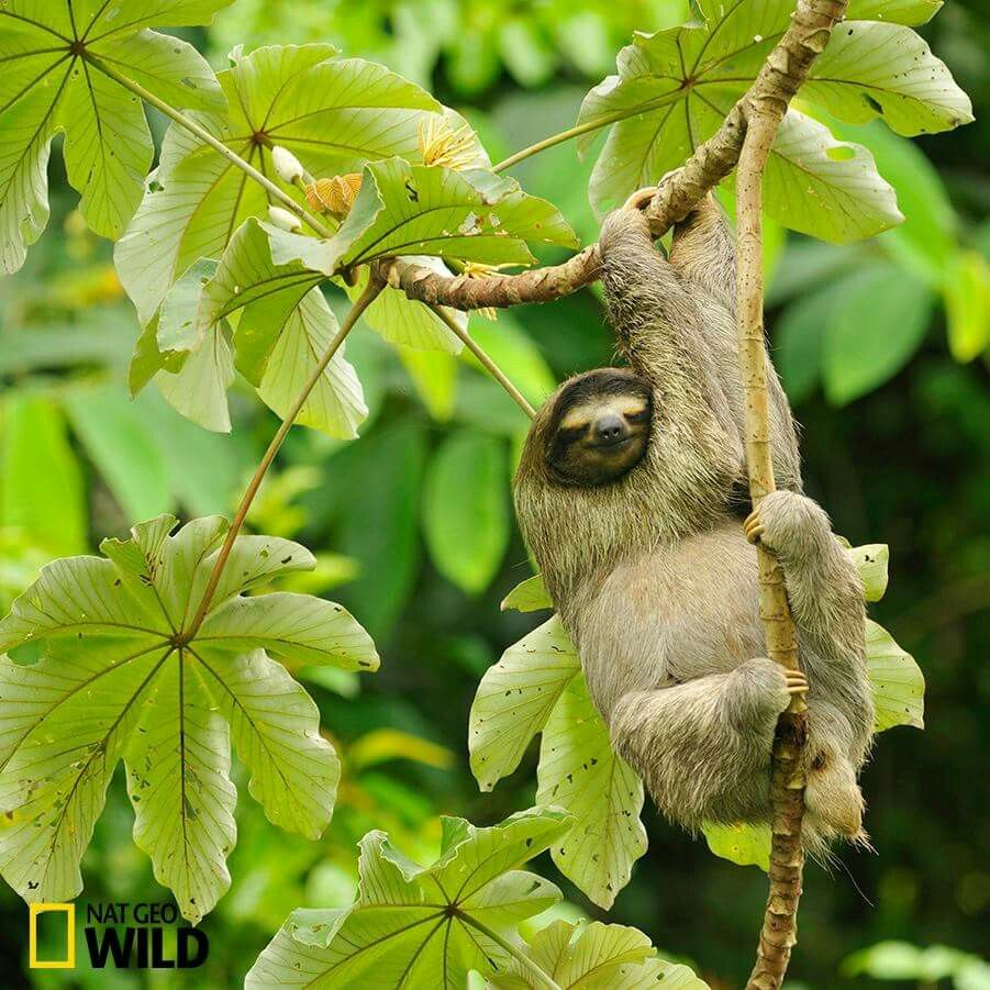 Fact Foto Friday: Though usually sedentary, three-toed sloths can travel up to 15 feet (approximately 8 times its body length) a minute if in danger.