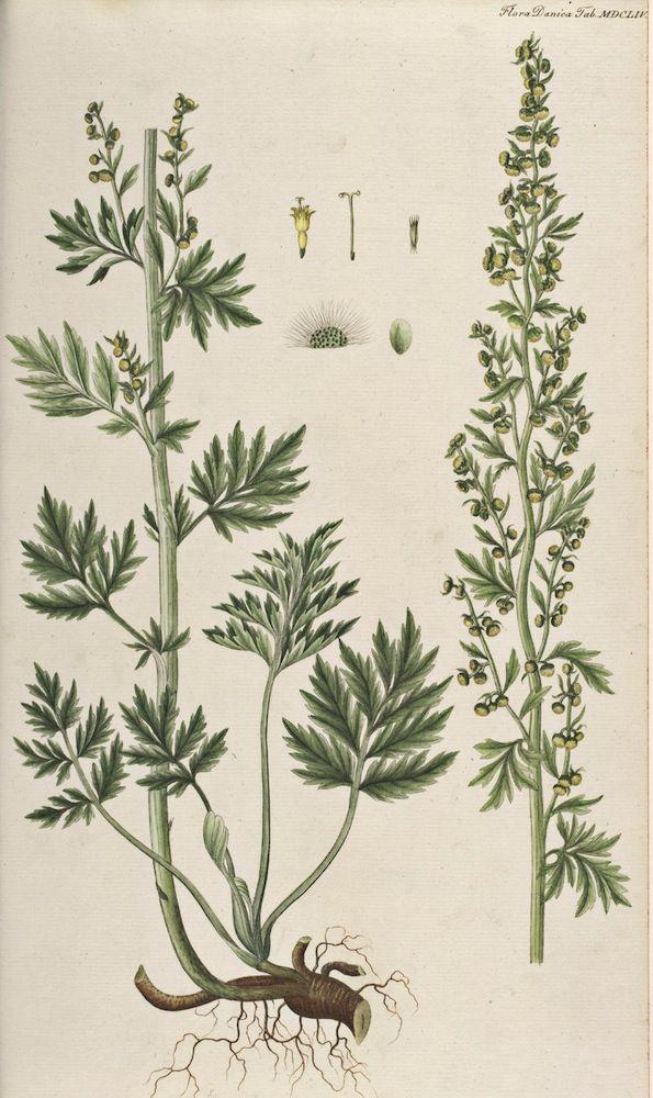 Wormwood Absinthe - Artemisia absinthium - Medicinally ...