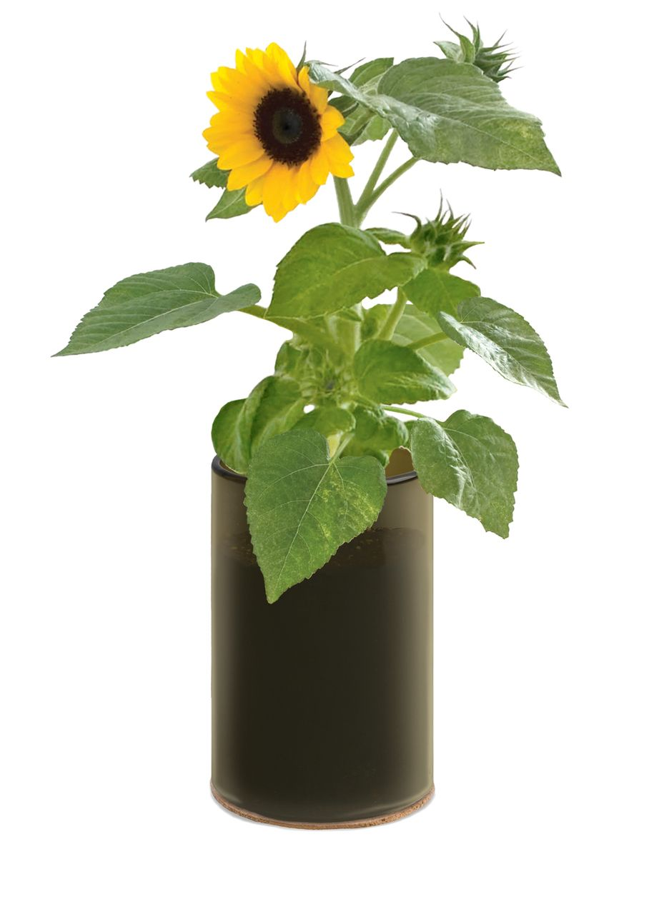 Grow Bottle Demi Sunflower. Perfect for Spring! #pottingshedcreations #sunflower #garden #gardener #spring