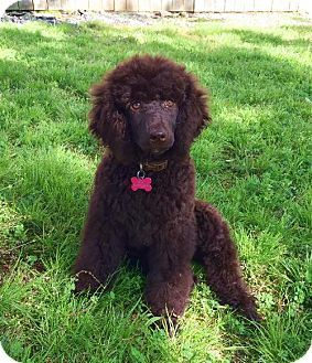 Little Rock Ar Poodle Standard Meet Jaycie A Puppy For