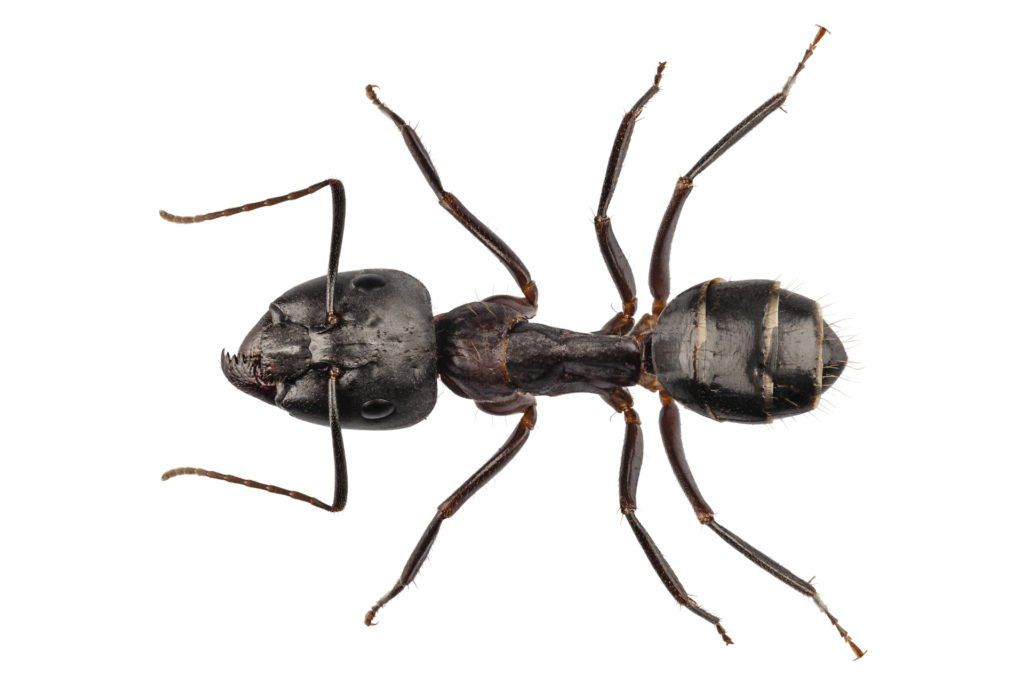 Carpenter Ants Everything You Should Know About Them Ants Ant