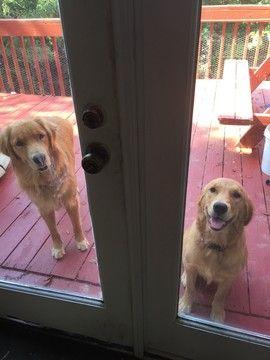 Golden Retriever Puppy For Sale In Roanoke Va Adn 42244 On