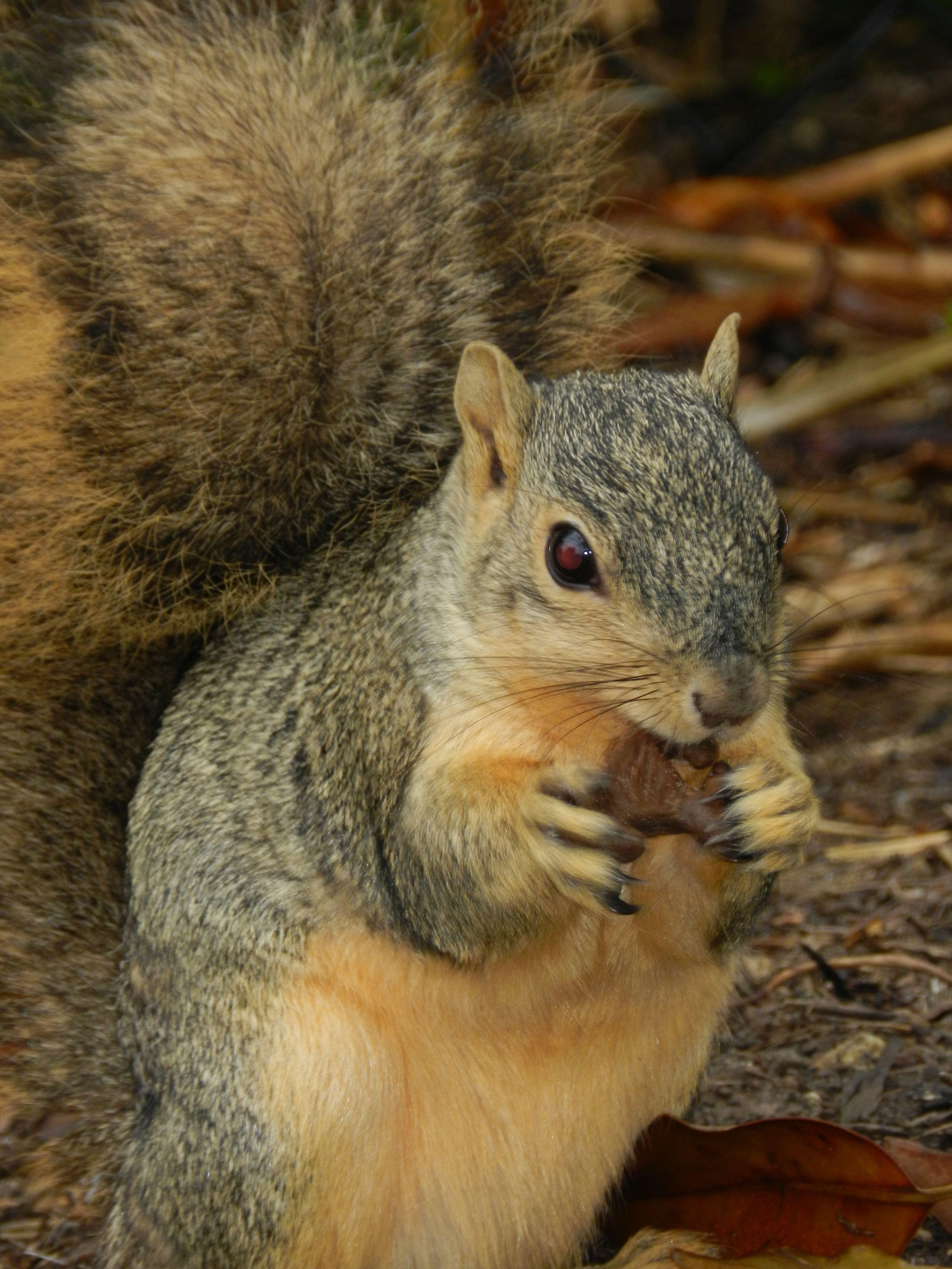 Texas Squirrel Fox squirrel, Squirrel, Animals