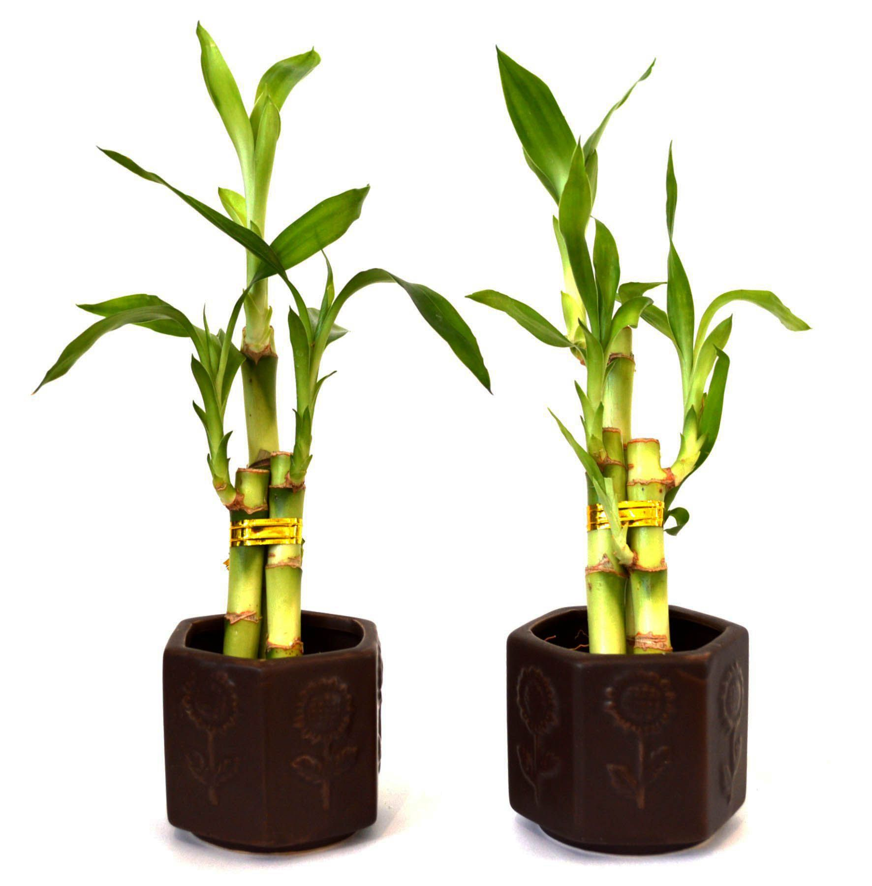 Wonderful bamboo plants ke fayde in hindi for your cozy