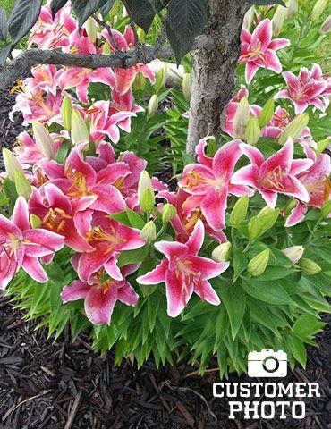 Stargazer Lily Master Gardener Program