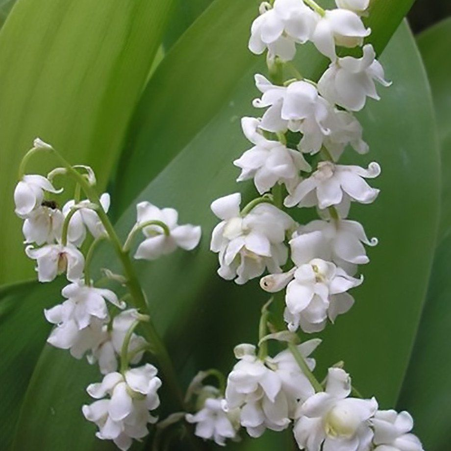 Lily Of The Valley Top 10 Wedding Flowers In The World Pinterest