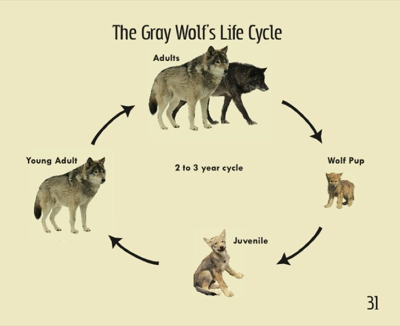 14+ Wolf cycle ideas in 2021