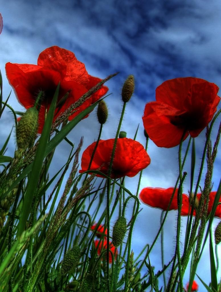 Poppies Against The Big Blue Sky Flowers I Love Pinterest
