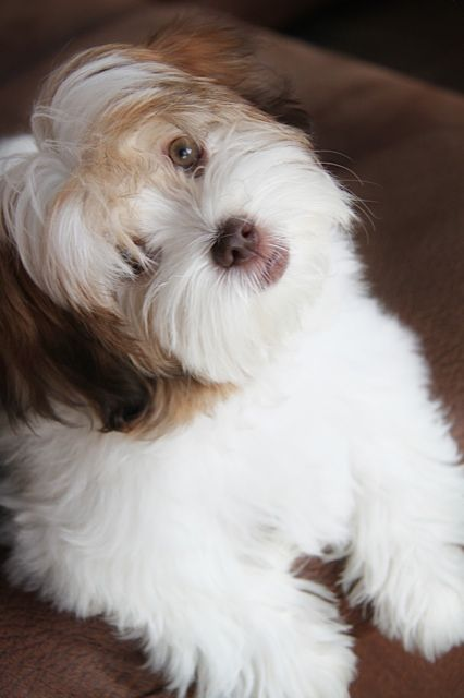 Mimi A Chocolate Havanese Brown Nose Lips And Look At That Eye Color Almost Human Beautiful Great Breed Gre Niedliche Welpen Haustiere Niedliche Hunde