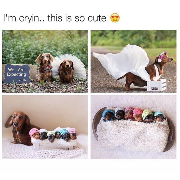 These dogs had an expecting photo shoot and look at their puppies! Via @drsmashlove