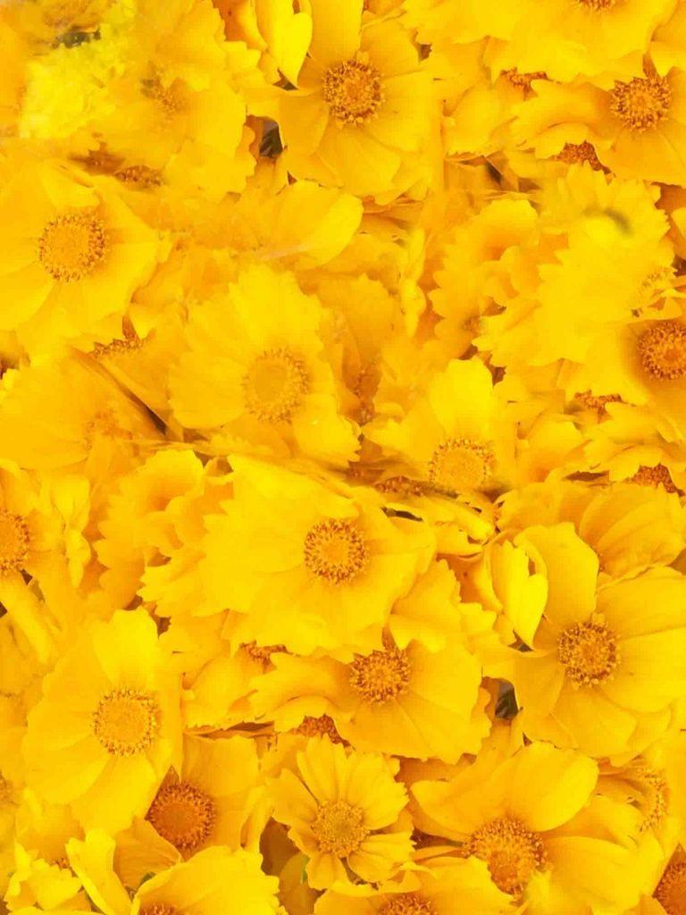download texture yellow flowers texture flowers flower background flower texture flower backgrounds yellow flowers flower texture yellow flowers flower texture