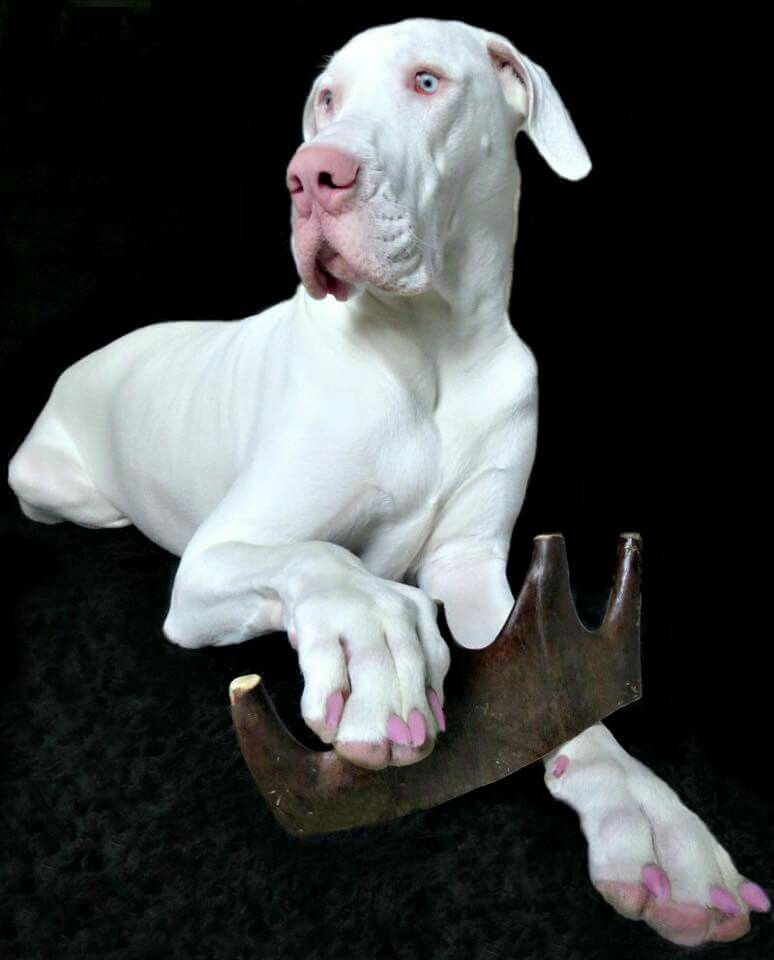 She S A White Great Dane Www Rufiosrumblings
